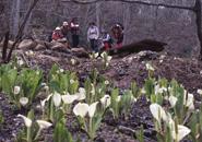5月初旬鴫の地谷沼のミズバショウ