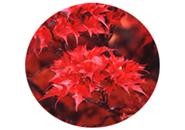 ミネカエデの紅葉