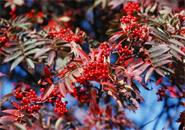 真っ赤に熟れるナナカマドの実