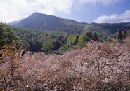 蔵王中央高原 ミネザクラ