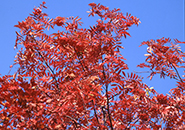 真赤にもえるナナカマドの紅葉とその実