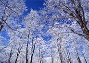 ブナ林の霧氷 中央高原