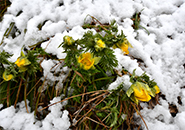 晩雪の寒さに耐え輝く福寿草 3月27日