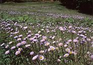 坊平ら高原公園に咲く アズマギク