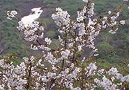 ワサ小屋跡~イロハ沼 蔵王沢に咲くミネザクラ