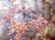 紅葉した葉や梢に彩を添える霜模様