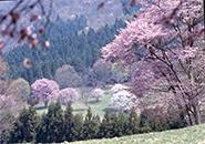 西蔵王高原に咲くオオヤマザクラ