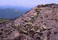コメバツガザクラ、熊野岳西側/ワサ小屋