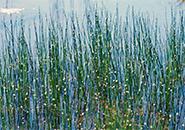 ホタルイ 真夏に蛍が光を放つように咲く