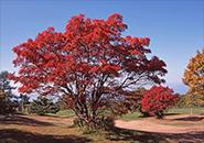蔵王坊平高原 ナナカマドの紅葉