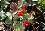 真赤に熟れた ゴゼンタチバナの実