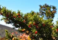 山の稜線に彩りをそえる キャラボクの実