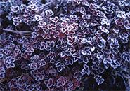 チングルマの葉