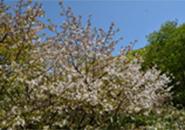 蔵王中央高原に咲くミネザクラ(紅葉峠)