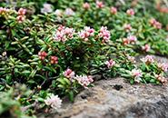 ミネズオウ 白花が多く生息範囲広い