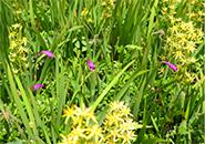 サワラン・お田の神湿原、池塘に咲く