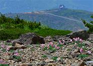 コマクサの群れ・熊野稜線~刈田神社