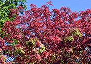 ナナカマド 紅葉の始まりは葉が緑色で、実が赤くなると次第に葉も実も真っ赤に色づく。