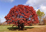 蔵王坊平公園内。9月10 日を過ぎるとナナカマドの実が真っ赤に熟れ始め、日を追うごとに真っ赤に変わっていく。