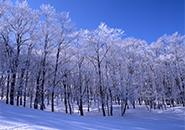 ブナ林の霧氷・中央高原