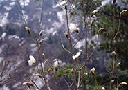 タムシバ、残雪を背景に新緑と白い花