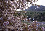 蔵王中央高原片貝沼付近に咲くミネザクラ