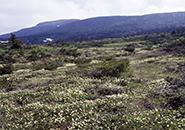エコーライン沿いお田の神湿原のチングルマ