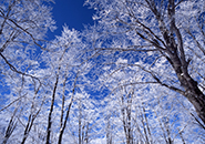 ブナ林の霧氷 中央高原パラダイス