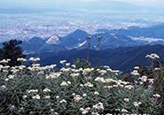 ハハコグサ 蔵王瀧山(リュウザン)神社より山形市街を望む