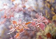 (2)霜に覆われた紅葉